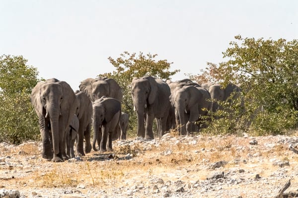 Elephant Family Traveling To Water Photography Art | Great Wildlife Photos, LLC