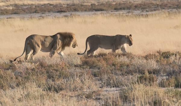 African Lion Pair Walking  Photography Art | Great Wildlife Photos, LLC