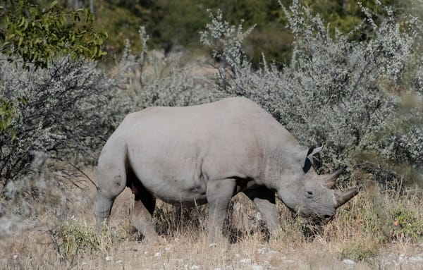 Black Rhino Walking Through Brush Photography Art | Great Wildlife Photos, LLC