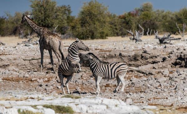Zebras Stallions Sparring Photography Art | Great Wildlife Photos, LLC