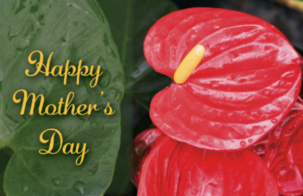 Mother's Day Anthurium Card | Bird In Paradise