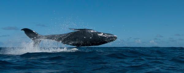 Flying Whale Photography Art | Douglas Hoffman Photography