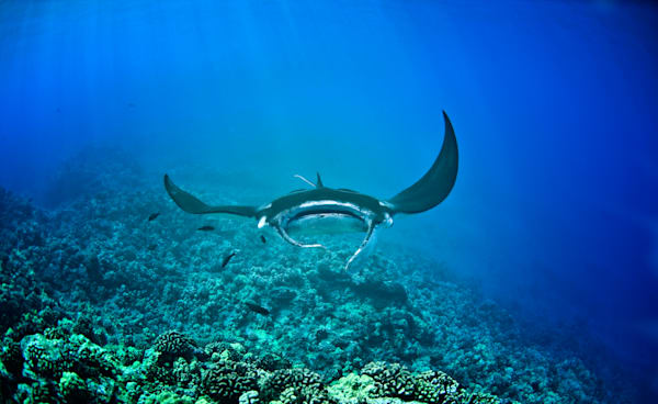 Maui Manta Photography Art   Douglas Hoffman Photography
