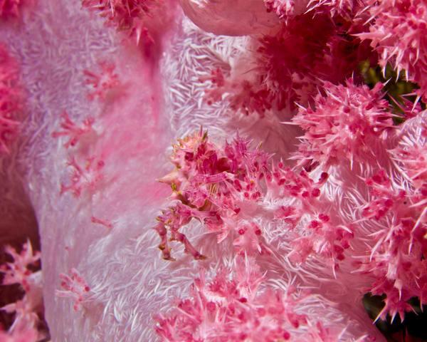 Pink Soft Coral Crab Photography Art   Douglas Hoffman Photography