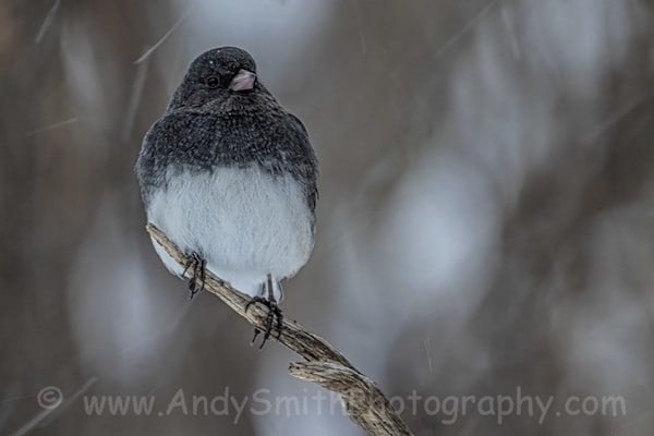 Dark Eyed Junco In Snow Storm Art | Andy Smith Photography