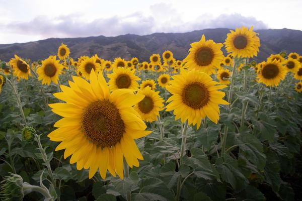 Sunflowers Forever Photography Art | Douglas Hoffman Photography