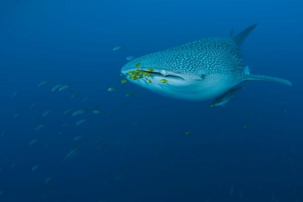 Whale Shark Crusin Photography Art | Douglas Hoffman Photography
