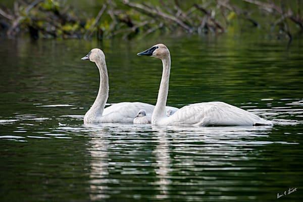 Swan Family Morning Swim Art | Alaska Wild Bear Photography