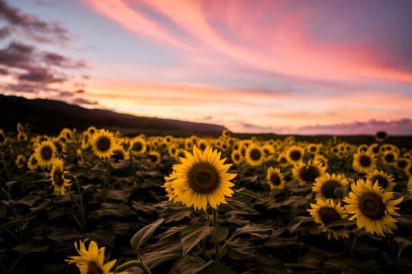 Sunflower Sunset | Mk060 Art | Pictures Plus