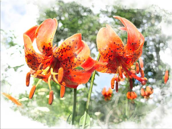 Wild Lilies Art | Light Pixie Studio