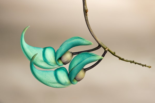 Jade Vine buds in Hawaii