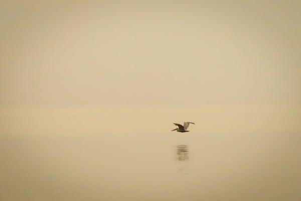 Wannabe Naturalist Brown Pelican in flight   Eugene L Brill