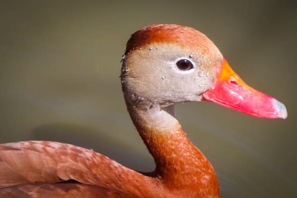 Wannabe Naturalist Black-belly Whistling Duck Edition 21-1   Eugene L Brill