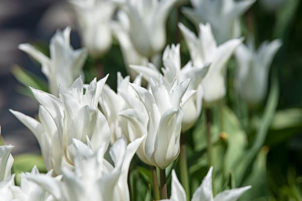 Tulip Spires