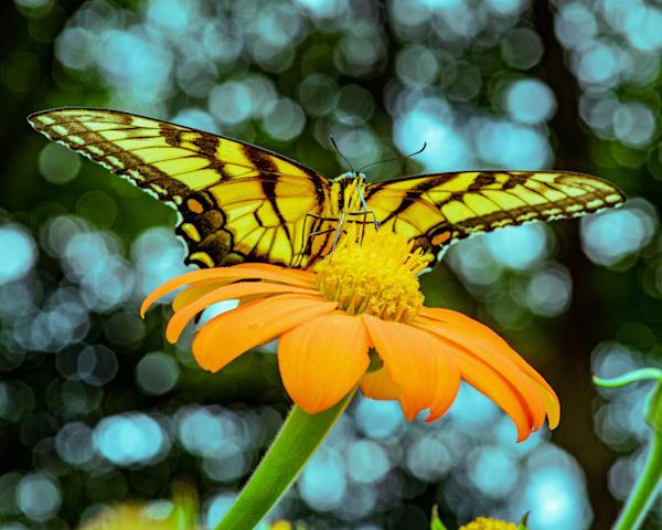 Swallowtail with Bokeh