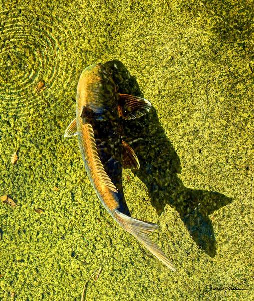 green koi pond swimming upstream sparkle jackierobbinsstudio photography photographicprints buyartonline