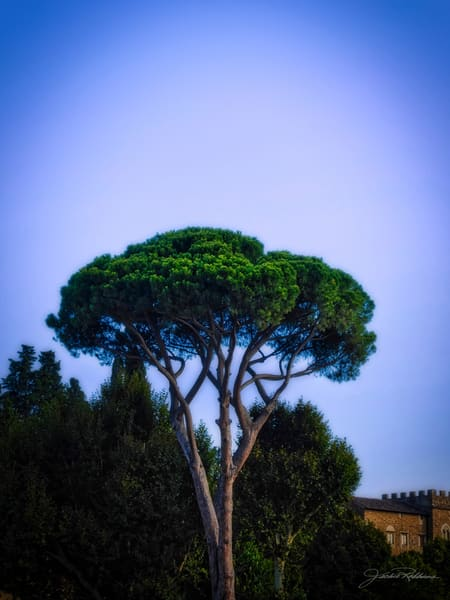 piazzamichangelo trees arborists contemplation florence jackierobbinsstudio wallart art decoration buyartonline
