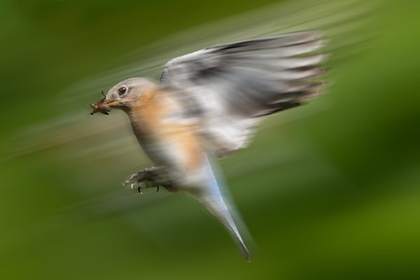 Eastern Bluebird Blur Photography Art | Matt Cuda Nature Photography