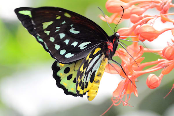 Gossamer Winged Butterfly Photography Art | RAndrews Photos