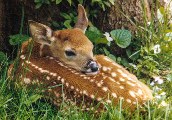 Newborn Fawn Photography Art | RAndrews Photos