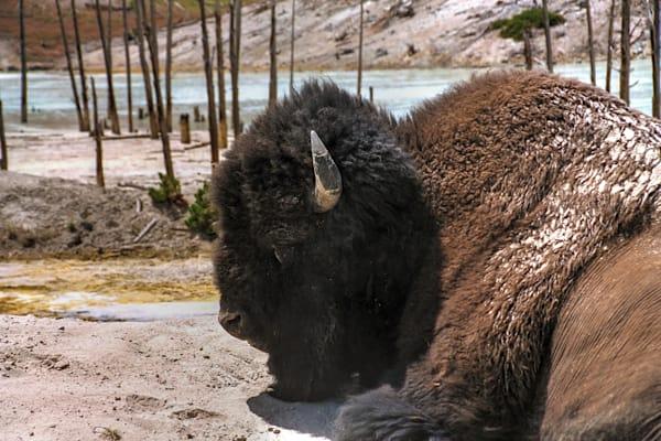 Bison In Yelowstone Photography Art   RAndrews Photos