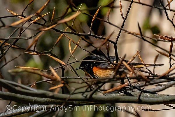 American Redstart Male, Setophaga ruticilla