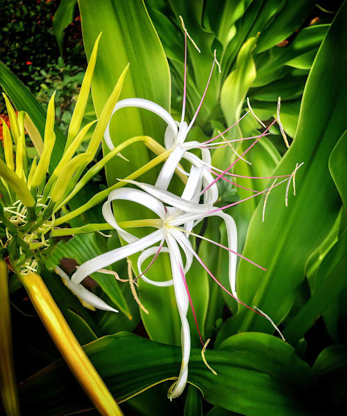 Spiny White Lily