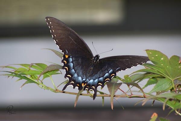 Spicebush Swallowtail: Shop prints | Lion's Gate Photography