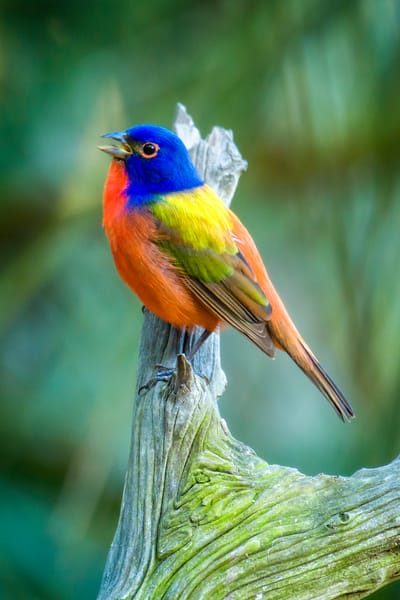 Singing Painted Bunting on Branch