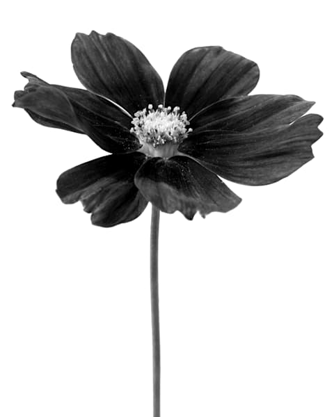 Black Flower Photography Art   MPF Gallery