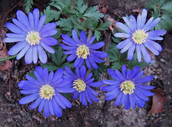 Print of art photograph blue Dancing daisies