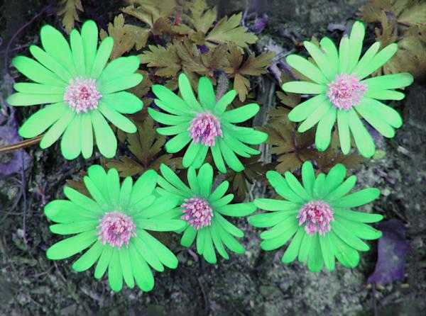 Print of art photograph green Dancing daisies