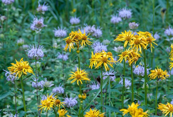 Land Between the Lakes Wildflowers 4786
