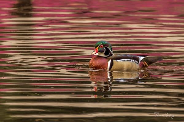 Wood Duck In Azalea Reflection Photography Art | Thomas Yackley Fine Art Photography