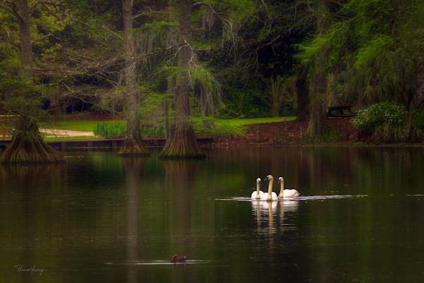 Swan Trio Photography Art | Thomas Yackley Fine Art Photography