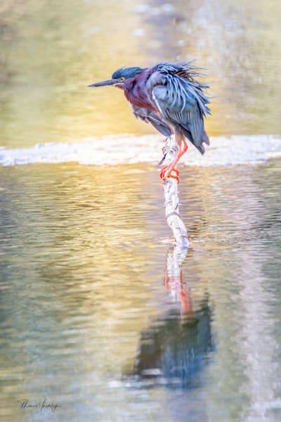 Green Heron Reflection Photography Art | Thomas Yackley Fine Art Photography