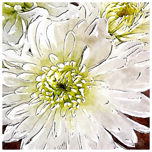 white-chrysanthemum, photo, watercolor-photo, flower,