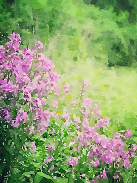 Purple-Phlox, watercolor-photo, flowers, garden-photo