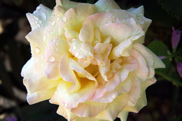 Chicago Peace Rose with Raindrops