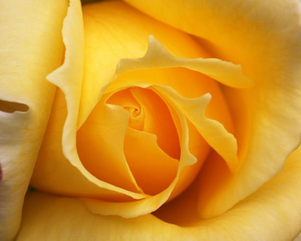 Portrait of a Yellow Rose