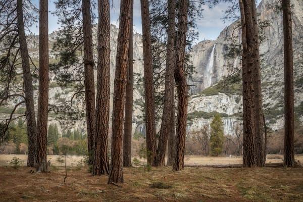 Yosemite Falls And Ponderosa Pines Photography Art | Charlotte Gibb Photography