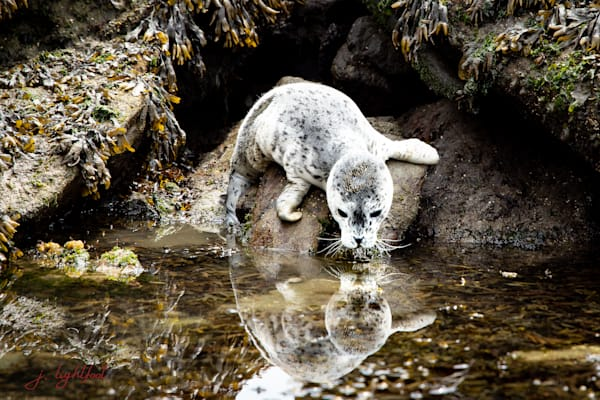 Baby Seal Art | Jamie Lightfoot, Artist