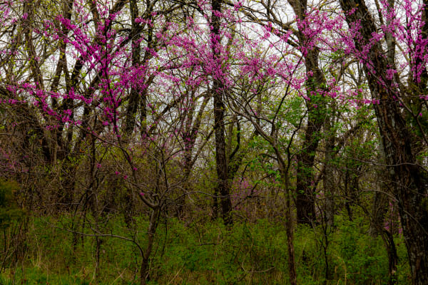 Red Bud Trees Photography Art | Silver Spirit Photography