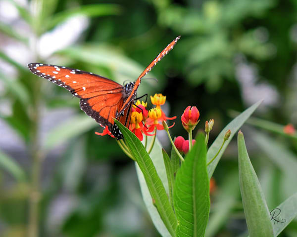 Queen On Milkweed: Shop prints | Lion's Gate Photography