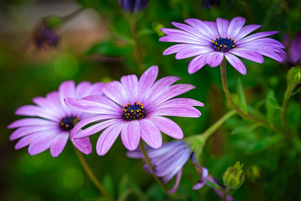 African Daisies   1 Photography Art | Brent Fraser Photography