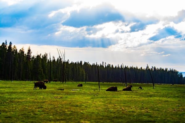 Buffalo Under The Sun Rays Photography Art | Call of the Mountains Photography