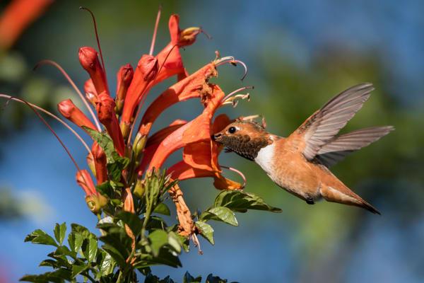 Allen's Hummingbird in Mexican Honeysuckle, San Diego, California