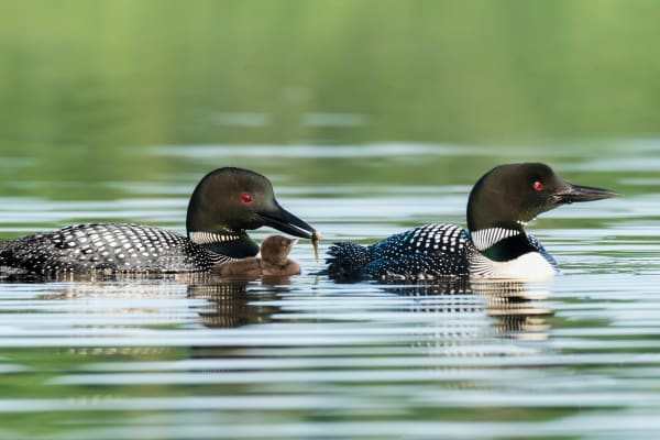 Loon Family Feeding Time Photography Art | http://www.mooseprintsgallery.com