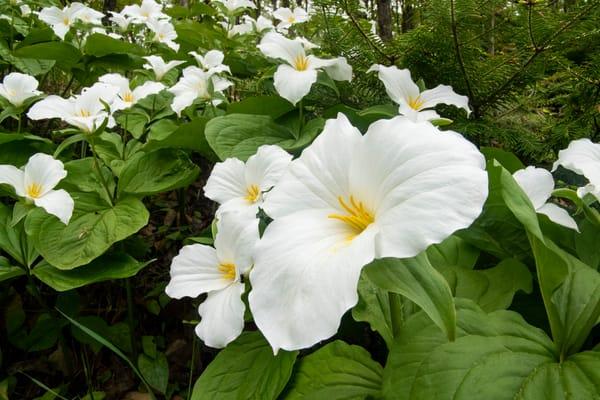 Hillside Trillium Spring Michigan