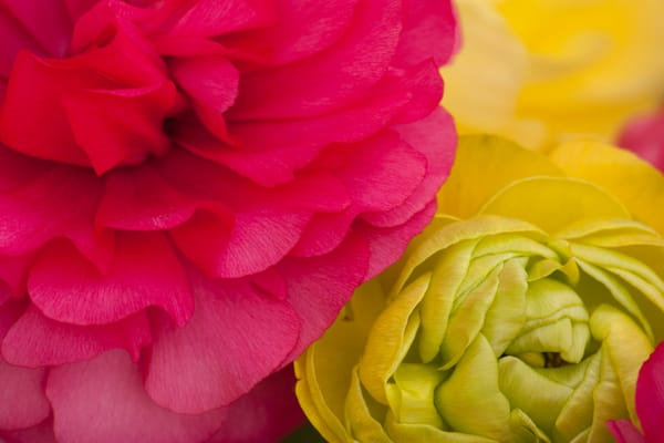 flower-photo, garden-tile, garden, pink-chartreuse, photograph